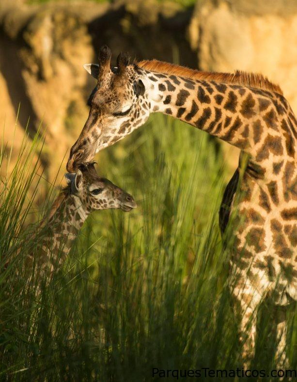 Bienvenido la Jirafa Calf en Kilimanjaro Safaris en Disney's Animal Kingdom
